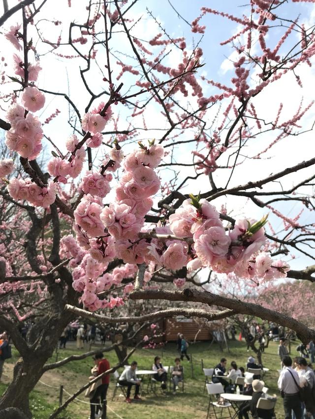 平岡公園の梅。赤かな。満開に咲いていた。