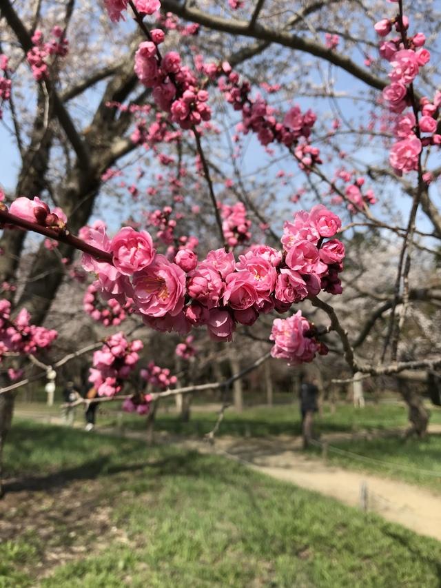 梅も負けじと咲いていた。色が桜より濃くてこっちが好きかも。