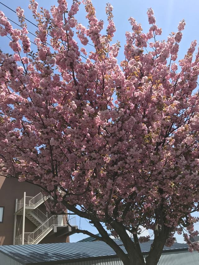 通勤の時にパチリ。満開の桜が咲いていた。
