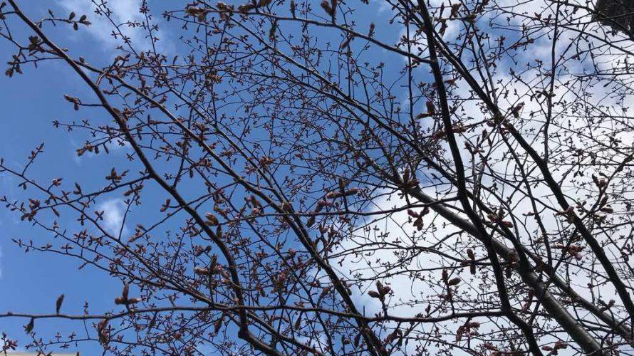 春の足音。桜の蕾が見えてきた。