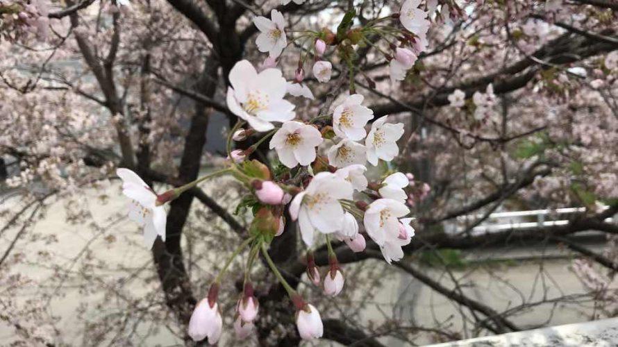 さくら!サクラ!!桜!!!