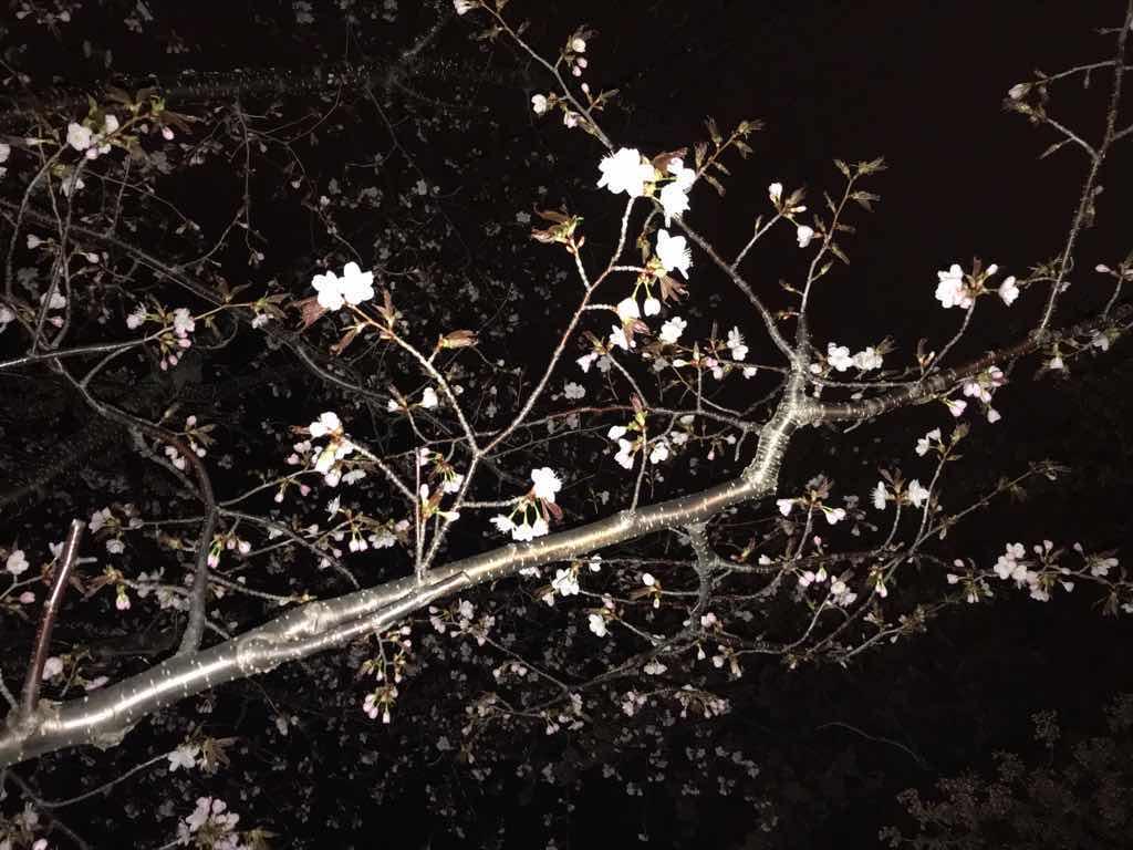 夜の桜。もう少しで開花しそう。