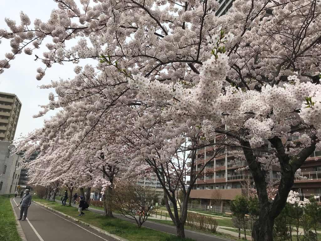 満開の桜。とてもきれいだ。