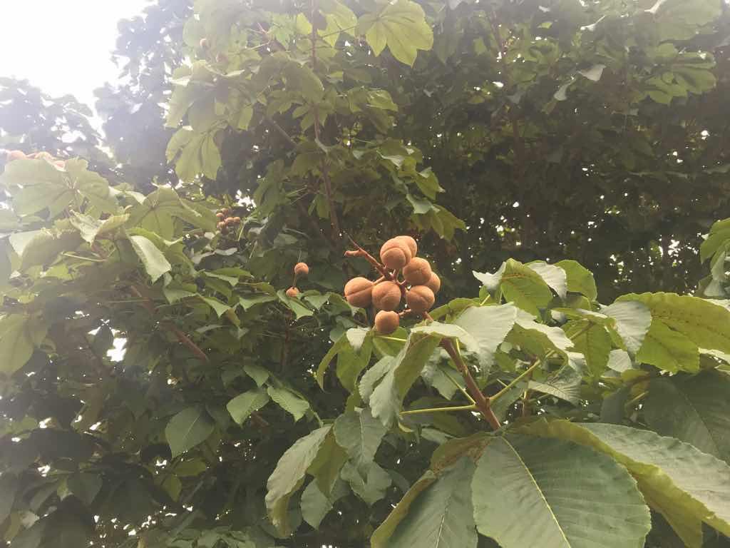 栃ノ木。これ以外にも色々な種類の木が植えられている。